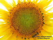 catherinehopkinshoneybeeonsunflower6x8wm.jpg