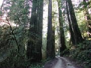 catherinehopkinsroadinredwoods6x8wm.jpg